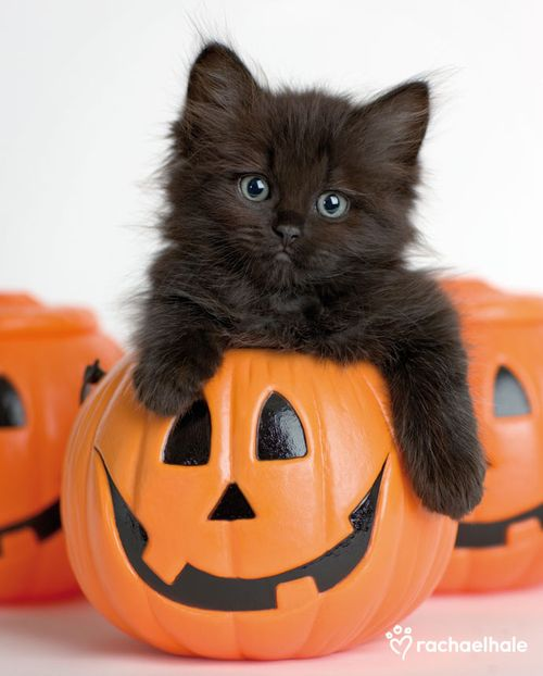 Image result for halloween pets